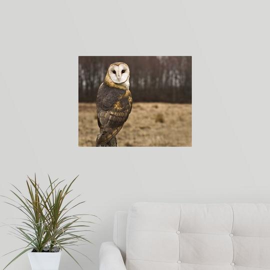 Poster Print Wall Art entitled Barn Owl looking at camera.