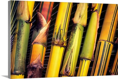 Hawaii, Maui, Closeup Of Bamboo Stalks