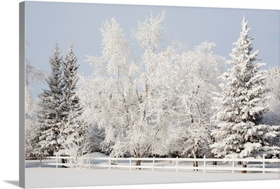 Trees Covered With Snow And Frost; Calgary, Alberta, Canada