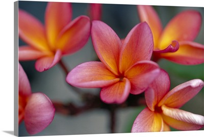 Hawaii, Close-Up Of Pink Yellow Plumeria Flowers On Plant Outdoor