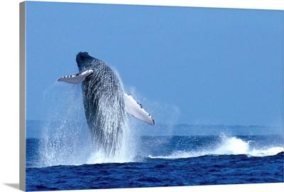 Hawaii, Maui, Humpback Whale