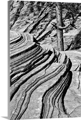 Black And White Of Rocks And Trees, Zion National Park, Utah