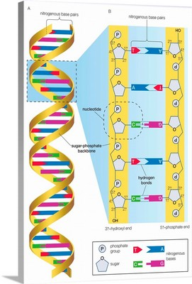 Structure of DNA molecule