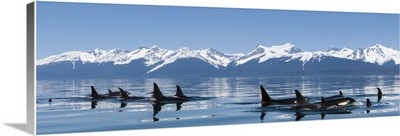 Orca whales come to the surface on a calm day in Lynn Canal, Alaska, near Juneau