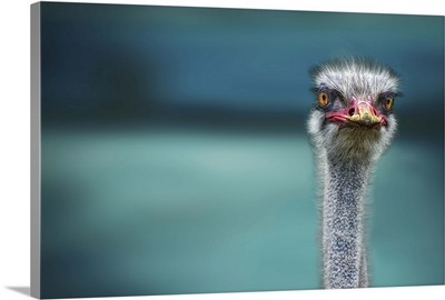 Ostrich In The Wind