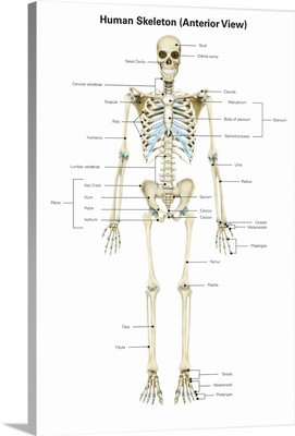 Anterior view of human skeletal system, with labels