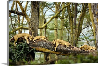 African Lion Cat Nap
