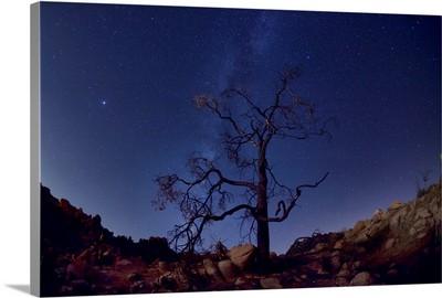 Tree and night sky, Joshua Tree National Park, California